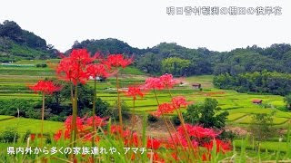 4K奈良明日香村稲渕の棚田の彼岸花