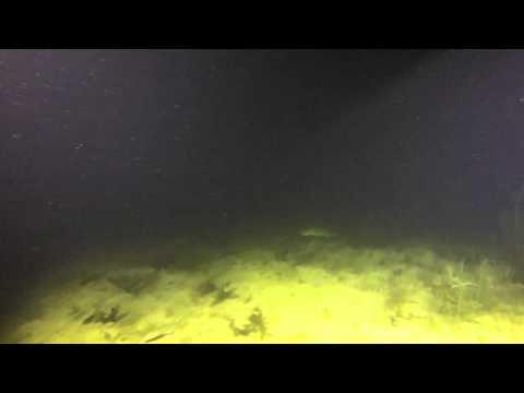 Der 2 Meter Wels im Pichlinger See, Pichlinger See,Österreich