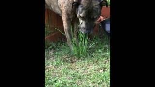 Dog Eating Weeds