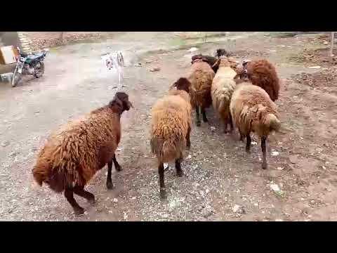 , title : 'Wonderful sheeps // Majjari Siva