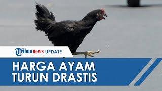 POPULER: Harga Ayam Turun Drastis karena Pandemi Corona, 12 Juta Pekerja Terancam PHK