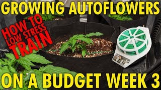 How to Train Autoflowers For Bigger Yields - White Widow Budget Grow Week 3
