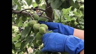 La tecnica del diradamento degli alberi da frutto: tra passione, dedizione e qualità
