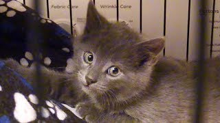 Tiny Grey Kitten Rescued from Freezing Cold