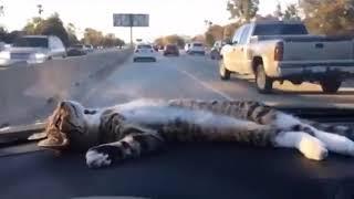 Подвези меня, человек! - смешное видео про котов
