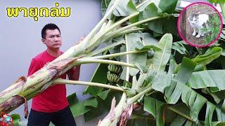 ป๊าบาสแม่บี   ฝนตก ลมแรง ต้นกล้วยล้ม