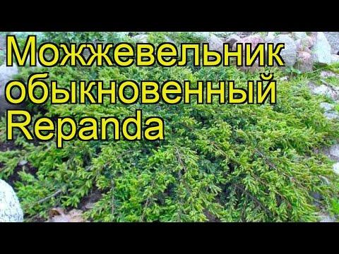 Можжевельник обыкновенный Репанда. Краткий обзор, описание характеристик juniperus communis Repanda