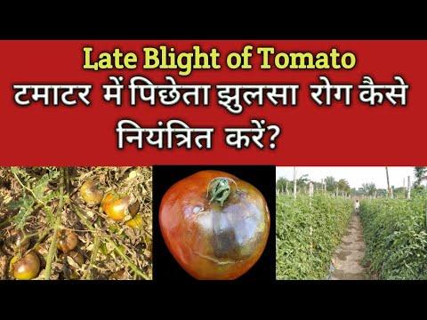 , title : 'Late blight of Tomato टमाटर  का पिछेती  झुलसा  रोग तथा इसका समाधान  Loss in tomato Yield