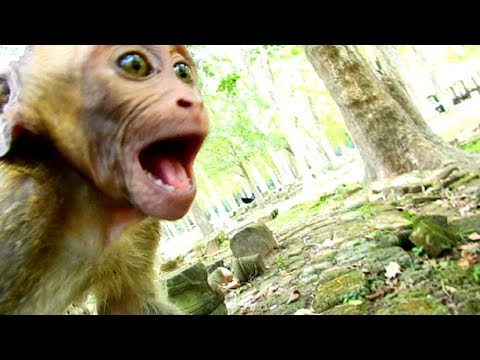 Help Me Please Papa !!! Poor David scream loudly cos adult monkey threaten, Why 1119
