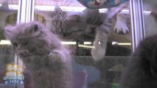 Exotic x Brittish Short hair Kittens