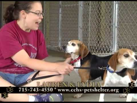 Lauren, an adopted Beagle in Neillsville, WI_image-1