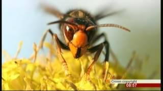 Asian Hornet threat (UK & Europe) - BBC Breakfast - 21st May 2016