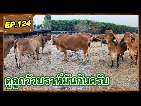 EP.124 : ดูลูกวัวบราห์มันกันครับ  #วัวบราห์มัน #แพะบอร์ #หญ้าแพงโกล่า