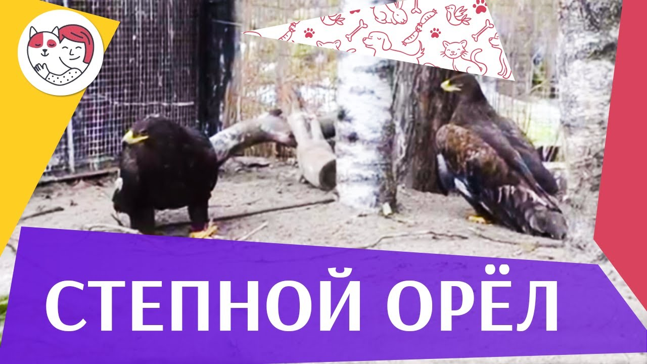Степной орёл Распространение на ilikepet
