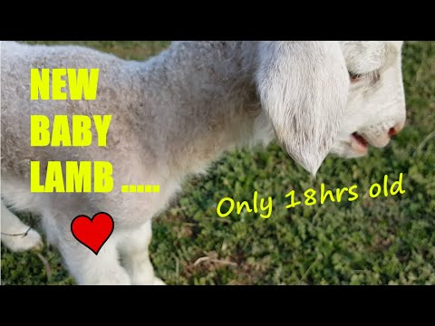 Baby Lamb only 18 hours old, SUPER CUTE! Listen to him calling his mum......