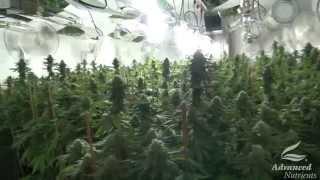 Good Shock vs Bad Shock - Marijuana Plants