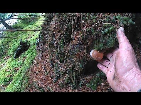 *Пішли молоді білі гриби в карпатах. Пошли молодые белые грибы в Карпатах *