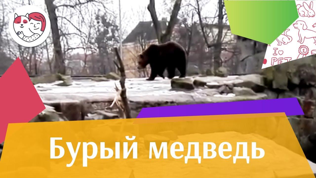 Бурый медведь Запасливый рыбак на ilikepet