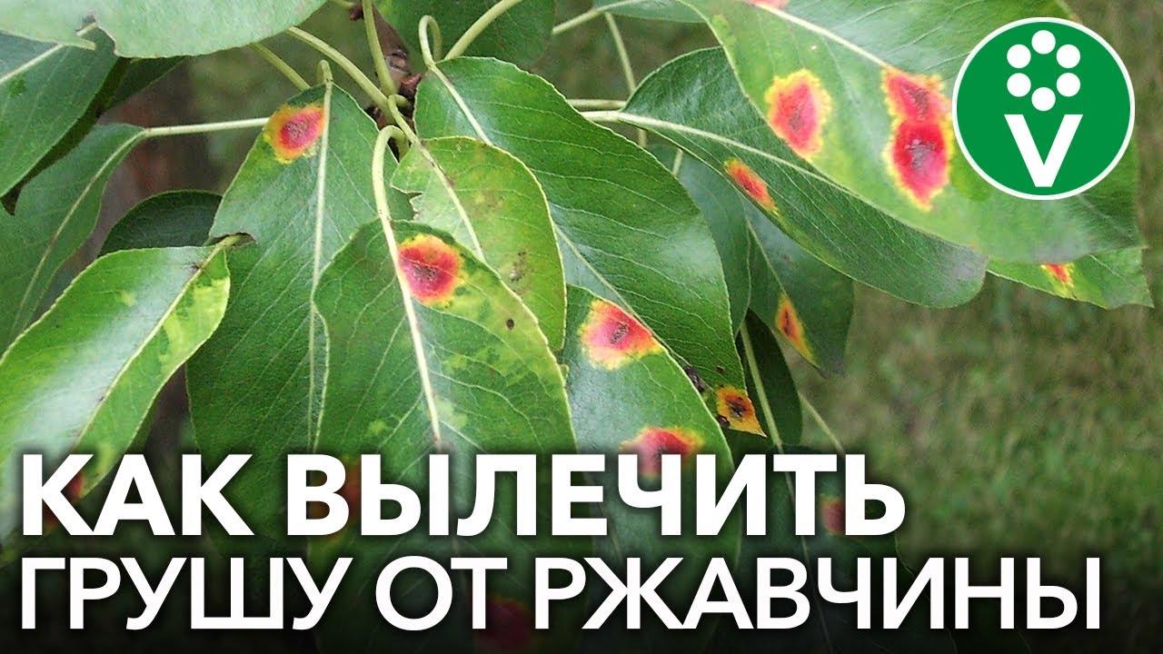 РЖАВЧИНА ГРУШИ: полная схема обработок с весны до осени