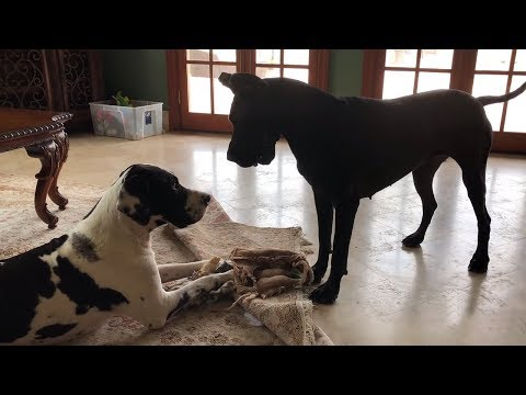 Bouncing Great Danes humorously argue over bone