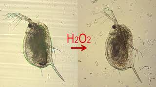 Stressed Cardiac Tissue Of Daphnia After Exposure To Hydrogen Peroxide