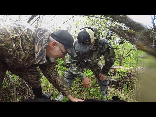 Big Black bear in a nasty swamp