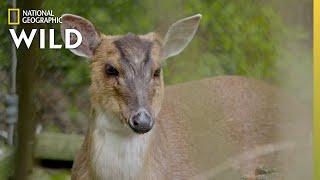 The Barking Deer | Secrets of the Zoo
