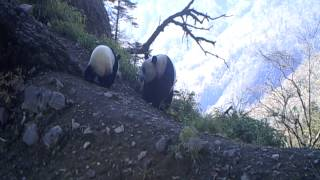 Baby Panda & Mom Caught on Camera | WWF