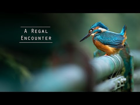 urban wildlife photography of kingfishers by matt gould