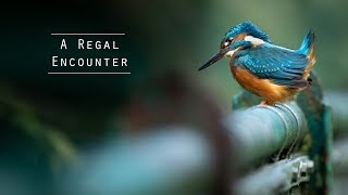 Kingfishers - Urban Wildlife Photography