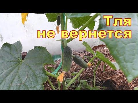 , title : 'Только прыснул и вся тля с муравьями пали замертво! Лучшие средства от тли в саду и огороде!