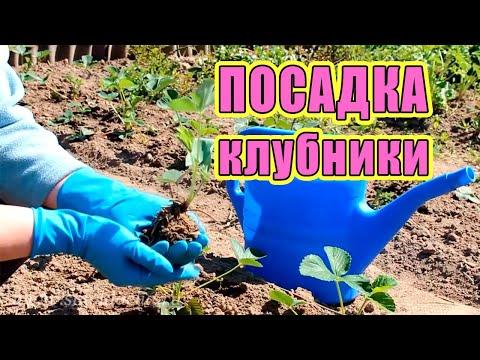 Посадка клубники. Как посадить клубнику весной