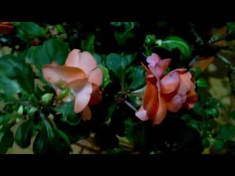 Комнатный цветок, похожий на розочку, кто знает как он называется?