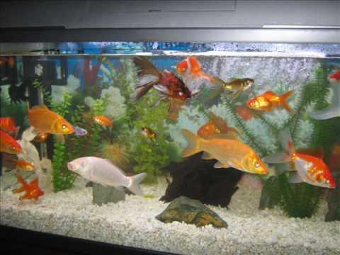 Con que peces se pueden juntar las bailarinas y los for Peces goldfish tipos