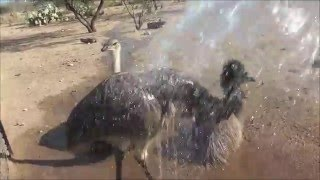 I Sprayed My Ostrich & Emu With A Hose - Do you think they liked it?