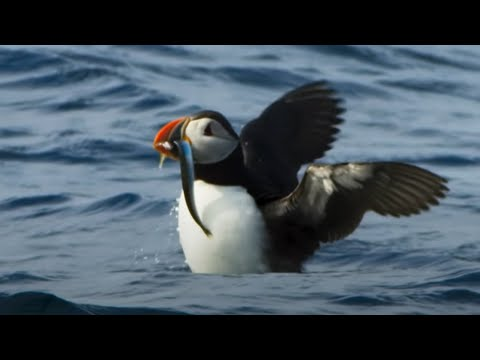 Beautiful Nature Moment: Puffin Goes Hunting For His Chick