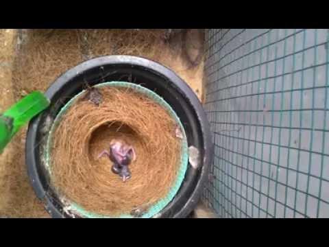 Video Kisah peternak Cucak Hijau Yang sukses