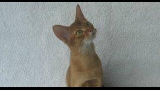 Зверский понедельник. Абиссинская кошка.