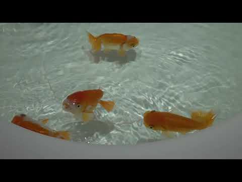 【涼しそうな動画】ぱくぱく金魚