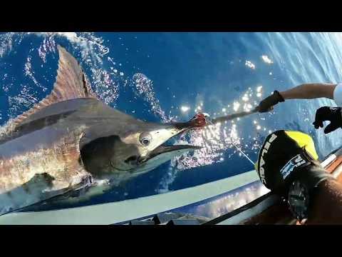 Fiskeri efter blue marlin på Azorerne
