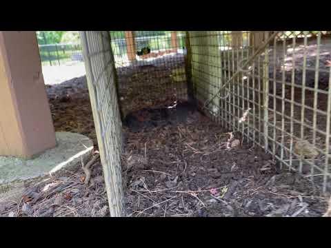 Groundhog Burrowing and Harboring Underneath Homeowners Deck in Holmdel, NJ