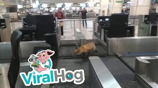 animales el zorro caminaba por el aeropuerto