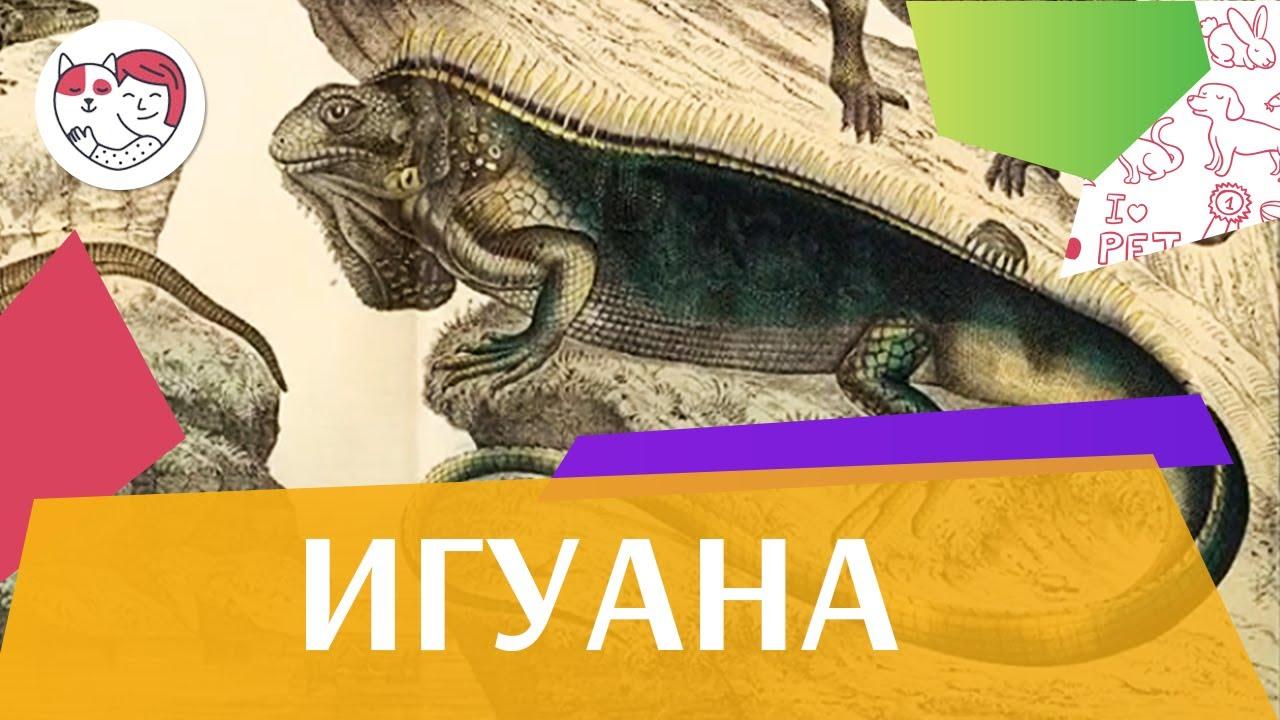 Игуана В хрониках Перу на ilikepet