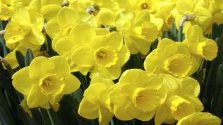 Daffodils By William Wordsworth (read By Tom O'Bedlam)