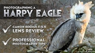 Photographing A Harpy Eagle + Canon 800mm f5.6 Lens Review and Photography Tips