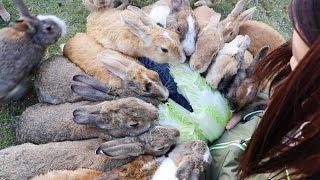 An Army of Hungry Bunnies! On Japan's Rabbit Island