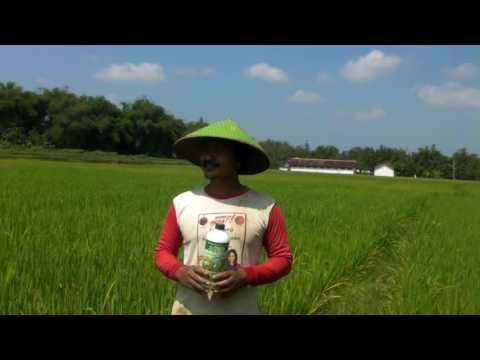 Video ARW Fertilizer mengobati penyakit tungro/padi merah/ambleg/kresek pada tanaman padi di Blora,Jateng