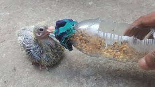 How to Bottle Feeding A Baby Pigeon