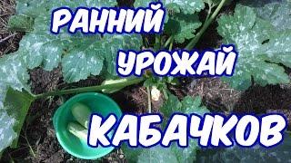 Выращивание кабачков (как получить урожай на месяц раньше)