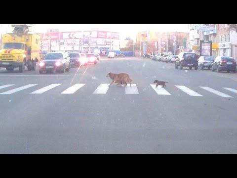 Собака учит щенят переходить дорогу на светофоре